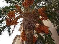 All about date trees