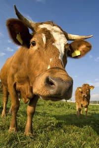 How much do you really know about cows? You might be surprised.