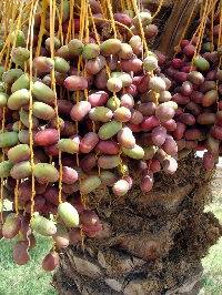 Date Fruit, first cultivated in ancient times, are a modern nutritional marvel