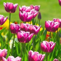 Where planting tulip bulbs is best for a gorgeous, colorful spring garden