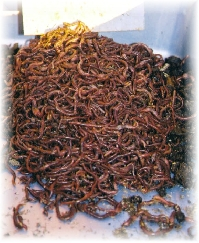What do worms eat is answered mostly in consideration of where they live