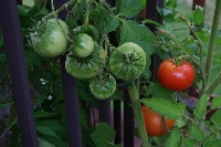 It's easy to grow vegetables in pots with a little creativity and some skill