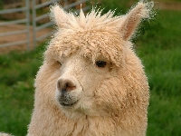 Alpaca farm products include fiber and all types of clothing made from it