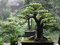 To grow bonsai trees you need plants, patience and pruning
