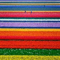 Are you wondering what are Dutch flower bulbs among your Spring flower choices?