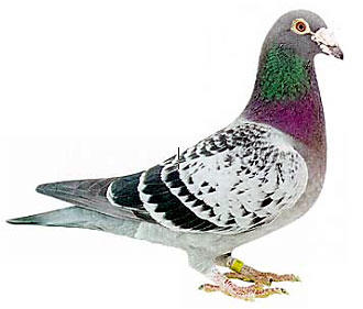 What you need for racing pigeons and training them