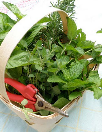 When to harvest herbs from the garden for maximum flavor