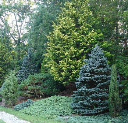 Tips on taking care of ornamental evergreen trees for your landscape investment