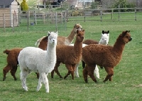 Alpaca wool and the animal it comes from