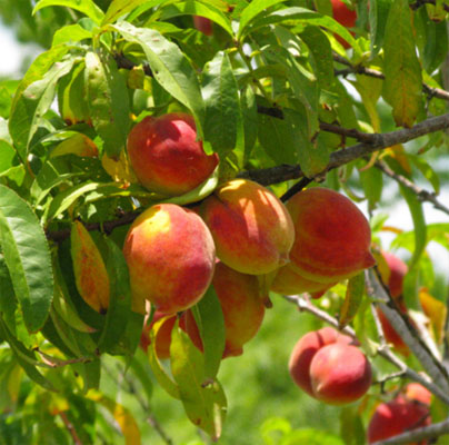 Easy-to-grow fruit trees for kitchen garden
