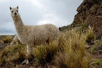 Baby alpaca wool is a luxuriously ethical natural fiber