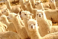 Alpaca wool is gaining popularity as a unique natural fiber alternative.