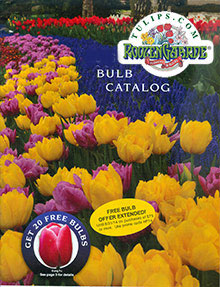 Picture of tulip bulbs from Tulips.com catalog