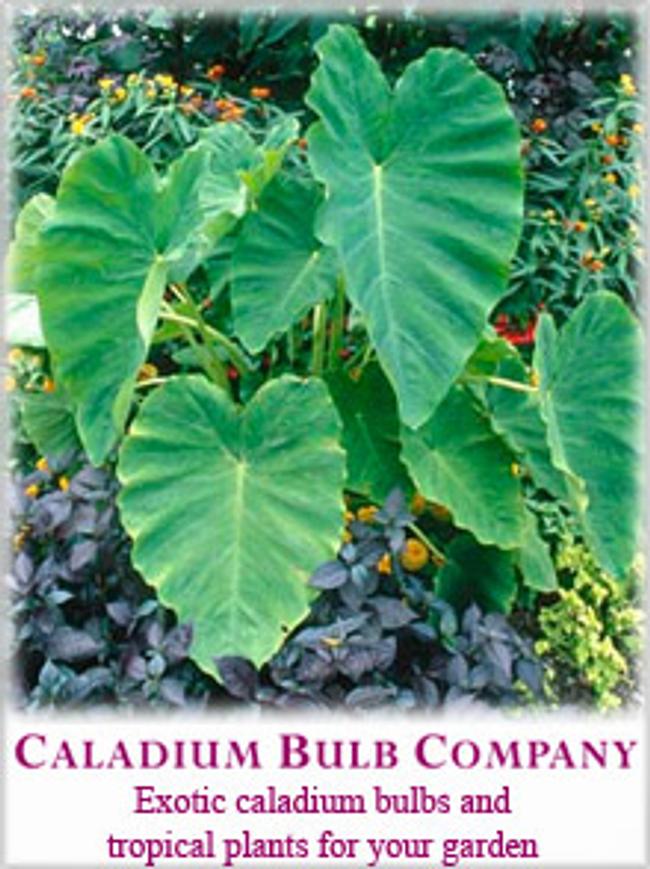 Caladium Bulb Catalog Cover