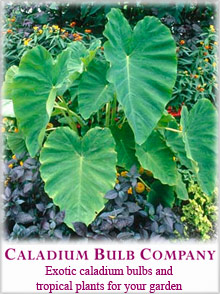 Picture of caladium bulbs from Caladium Bulb Company catalog